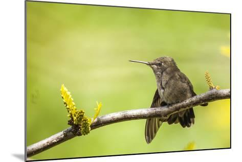 Annas Hummingbird Perched on the Branch of a Honey Locust Tree-Michael Qualls-Mounted Photographic Print