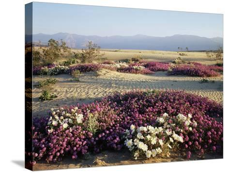 California, Anza Borrego Desert Sp, Wildflowers on a Sand Dune-Christopher Talbot Frank-Stretched Canvas Print