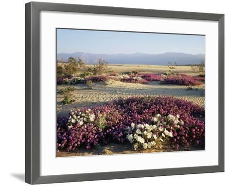 California, Anza Borrego Desert Sp, Wildflowers on a Sand Dune-Christopher Talbot Frank-Framed Art Print