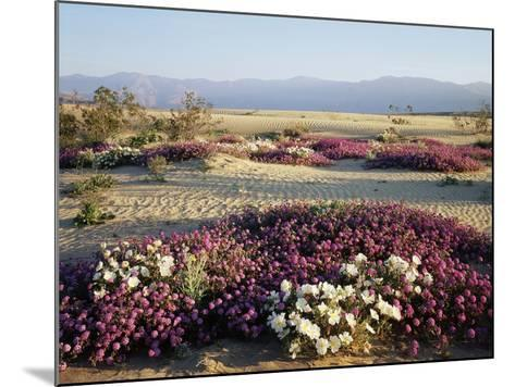 California, Anza Borrego Desert Sp, Wildflowers on a Sand Dune-Christopher Talbot Frank-Mounted Photographic Print