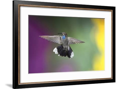 Arizona, Madera Canyon. Blue Throated Hummingbird with Spread Wings-Jaynes Gallery-Framed Art Print
