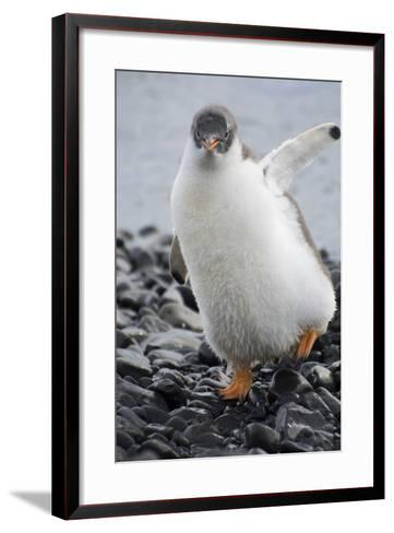 Antarctica. Brown Bluff. Gentoo Penguin, Pygoscelis Papua, Chick-Inger Hogstrom-Framed Art Print