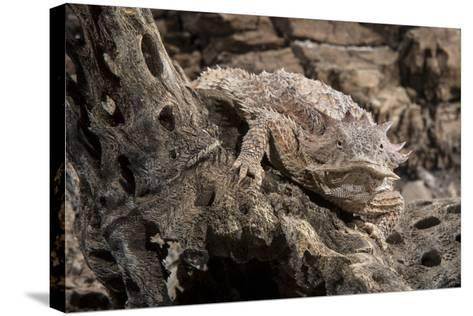 Arizona, Madera Canyon. Close Up of Regal Horned Lizard-Jaynes Gallery-Stretched Canvas Print