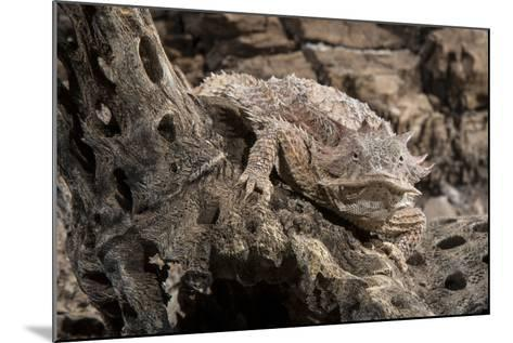 Arizona, Madera Canyon. Close Up of Regal Horned Lizard-Jaynes Gallery-Mounted Photographic Print