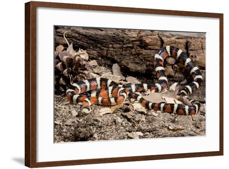 Arizona, Madera Canyon. Sonoran Mountain King Snake-Jaynes Gallery-Framed Art Print