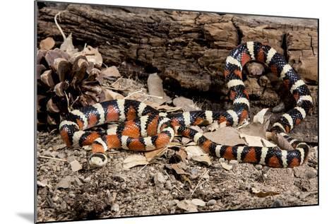 Arizona, Madera Canyon. Sonoran Mountain King Snake-Jaynes Gallery-Mounted Photographic Print