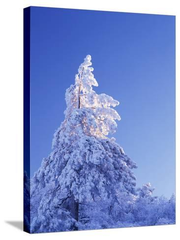 California, Cleveland Nf, Laguna Mountains, Snow Covered Pine Tree-Christopher Talbot Frank-Stretched Canvas Print