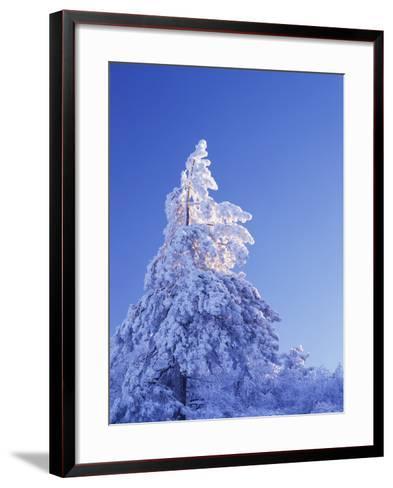 California, Cleveland Nf, Laguna Mountains, Snow Covered Pine Tree-Christopher Talbot Frank-Framed Art Print
