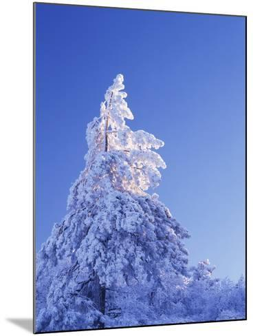California, Cleveland Nf, Laguna Mountains, Snow Covered Pine Tree-Christopher Talbot Frank-Mounted Photographic Print