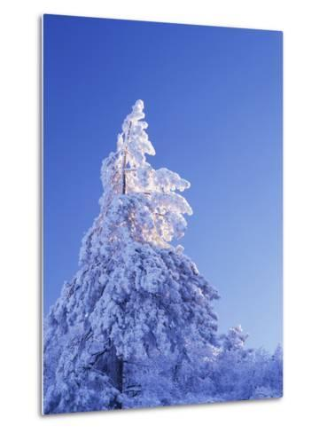 California, Cleveland Nf, Laguna Mountains, Snow Covered Pine Tree-Christopher Talbot Frank-Metal Print