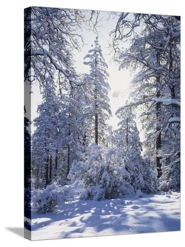 California, Cleveland Nf, Laguna Mts, Winter Sunrise in Forest-Christopher Talbot Frank-Stretched Canvas Print
