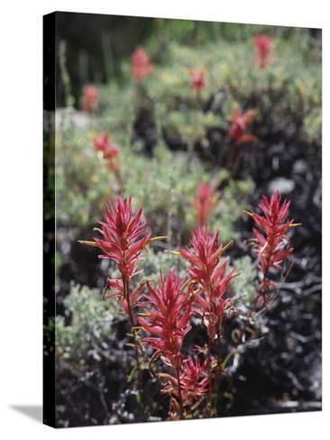 California, Sierra Nevada Mts, Indian Paintbrush, Castilleja-Christopher Talbot Frank-Stretched Canvas Print