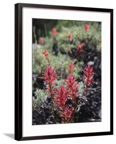 California, Sierra Nevada Mts, Indian Paintbrush, Castilleja-Christopher Talbot Frank-Framed Art Print