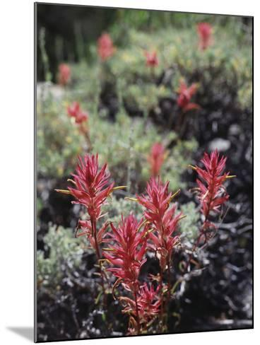 California, Sierra Nevada Mts, Indian Paintbrush, Castilleja-Christopher Talbot Frank-Mounted Photographic Print