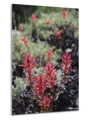 California, Sierra Nevada Mts, Indian Paintbrush, Castilleja-Christopher Talbot Frank-Metal Print