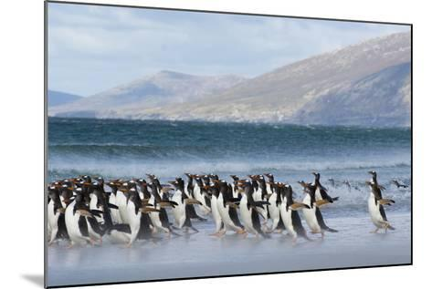Falkland Islands. Saunders Island. Gentoo Penguins Enter the Water-Inger Hogstrom-Mounted Photographic Print
