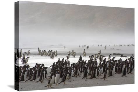 Falkland Islands. Saunders Island. Gentoo Penguins Fight the Wind-Inger Hogstrom-Stretched Canvas Print