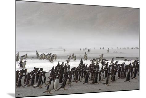 Falkland Islands. Saunders Island. Gentoo Penguins Fight the Wind-Inger Hogstrom-Mounted Photographic Print