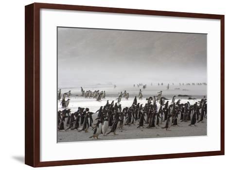 Falkland Islands. Saunders Island. Gentoo Penguins Fight the Wind-Inger Hogstrom-Framed Art Print
