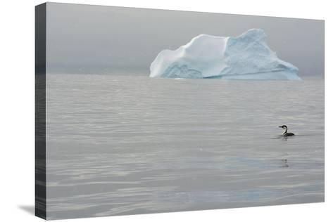 Antarctica. Charlotte Bay. Antarctic Shag and an Iceberg-Inger Hogstrom-Stretched Canvas Print