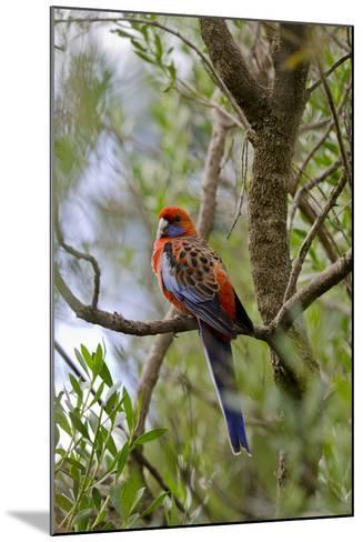 Australia, Adelaide. Cleland Wildlife Park. Blue Cheeked Rosella-Cindy Miller Hopkins-Mounted Photographic Print