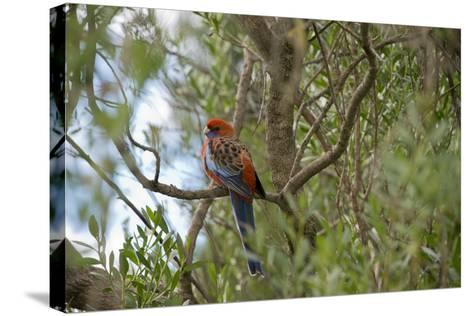 Australia, Adelaide. Cleland Wildlife Park. Blue Cheeked Rosella-Cindy Miller Hopkins-Stretched Canvas Print