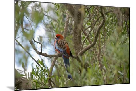 Australia, Adelaide. Cleland Wildlife Park. Blue Cheeked Rosella-Cindy Miller Hopkins-Mounted Photographic Print
