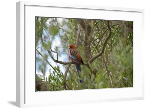 Australia, Adelaide. Cleland Wildlife Park. Blue Cheeked Rosella-Cindy Miller Hopkins-Framed Art Print
