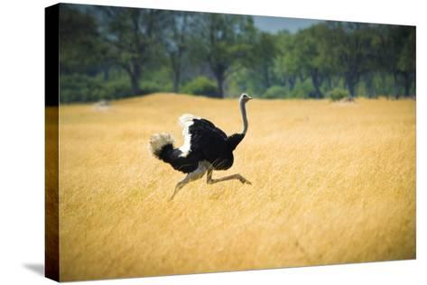 Male Ostrich Running in Dry Grass Trees in Background Botswana Africa-Sheila Haddad-Stretched Canvas Print