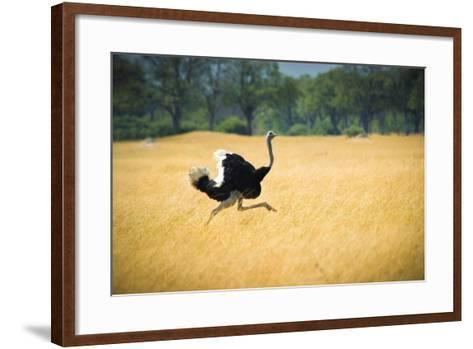 Male Ostrich Running in Dry Grass Trees in Background Botswana Africa-Sheila Haddad-Framed Art Print