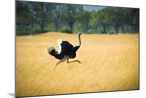 Male Ostrich Running in Dry Grass Trees in Background Botswana Africa-Sheila Haddad-Mounted Photographic Print