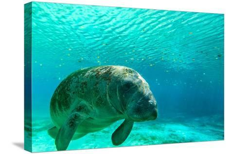 Manatee Swimming in Clear Water in Crystal River, Florida-James White-Stretched Canvas Print