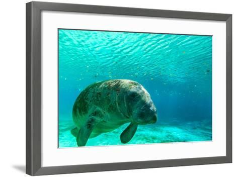 Manatee Swimming in Clear Water in Crystal River, Florida-James White-Framed Art Print