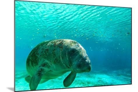 Manatee Swimming in Clear Water in Crystal River, Florida-James White-Mounted Photographic Print