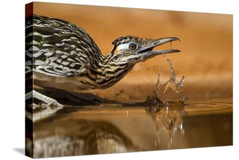 Starr County, Texas. Greater Roadrunner Drinking at Pond-Larry Ditto-Stretched Canvas Print