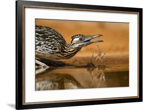 Starr County, Texas. Greater Roadrunner Drinking at Pond-Larry Ditto-Framed Art Print