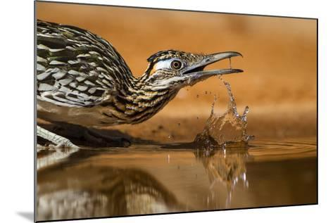 Starr County, Texas. Greater Roadrunner Drinking at Pond-Larry Ditto-Mounted Photographic Print