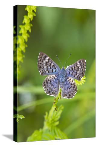 Cameron County, Texas. Blue Metalmark Butterfly Nectaring, Heliotrope-Larry Ditto-Stretched Canvas Print