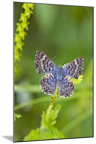 Cameron County, Texas. Blue Metalmark Butterfly Nectaring, Heliotrope-Larry Ditto-Mounted Photographic Print
