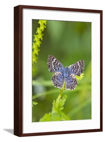 Cameron County, Texas. Blue Metalmark Butterfly Nectaring, Heliotrope-Larry Ditto-Framed Art Print