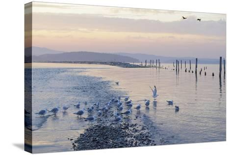 Canada, B.C, Sidney Island. Gulls at Sunset, Gulf Islands National Park Reserve-Kevin Oke-Stretched Canvas Print
