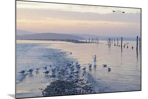 Canada, B.C, Sidney Island. Gulls at Sunset, Gulf Islands National Park Reserve-Kevin Oke-Mounted Photographic Print