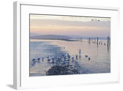 Canada, B.C, Sidney Island. Gulls at Sunset, Gulf Islands National Park Reserve-Kevin Oke-Framed Art Print