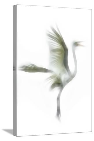 Great Egret in Flight, Digitally Altered-Rona Schwarz-Stretched Canvas Print