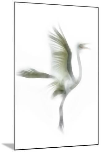 Great Egret in Flight, Digitally Altered-Rona Schwarz-Mounted Photographic Print