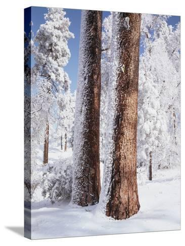 Us, Ca, Cleveland Nf, Laguna Mts, Woodpecker Holes on Ponderosa Pine-Christopher Talbot Frank-Stretched Canvas Print