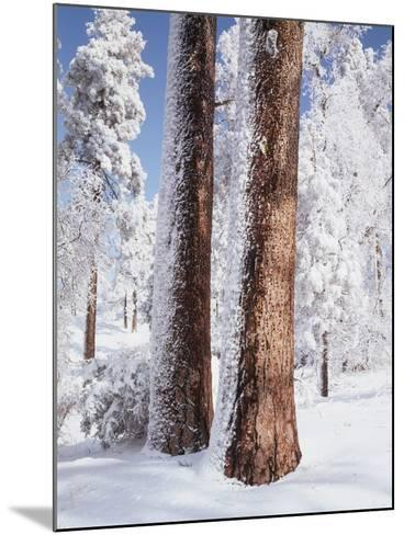 Us, Ca, Cleveland Nf, Laguna Mts, Woodpecker Holes on Ponderosa Pine-Christopher Talbot Frank-Mounted Photographic Print