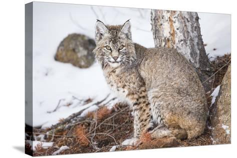Wyoming, Yellowstone National Park, Bobcat Sitting under Tree-Elizabeth Boehm-Stretched Canvas Print