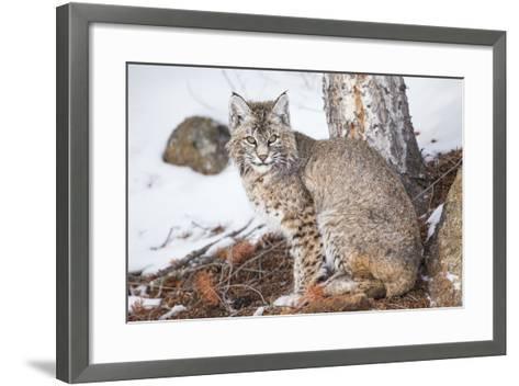 Wyoming, Yellowstone National Park, Bobcat Sitting under Tree-Elizabeth Boehm-Framed Art Print