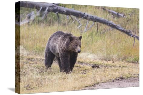 Wyoming, Yellowstone National Park, Grizzly Bear-Elizabeth Boehm-Stretched Canvas Print